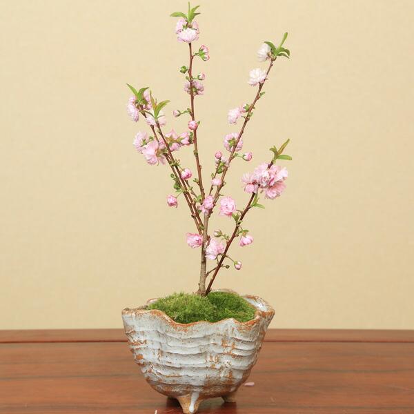 庭桜(にわざくら)(信楽焼変形鉢)