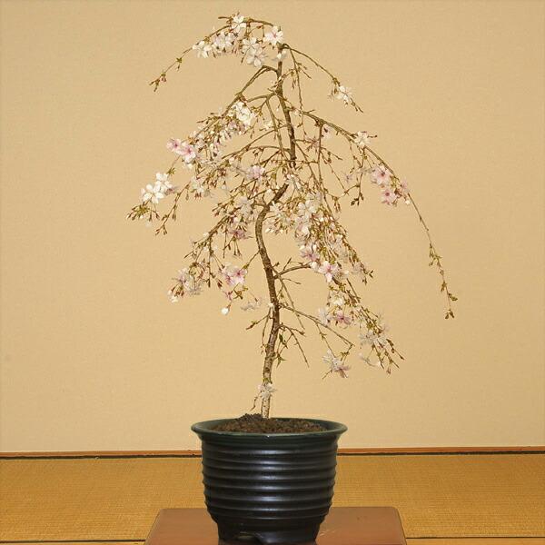 盆栽:しだれ桜(富士桜)瀬戸焼黒釉深鉢