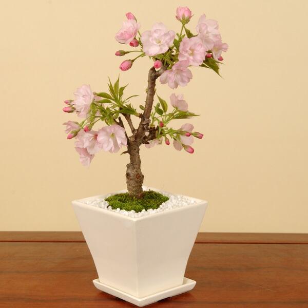 モダン盆栽:一才桜(旭山桜・受け皿付)