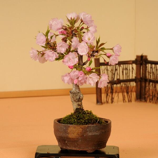 桜盆栽:一才桜(信楽焼小鉢)