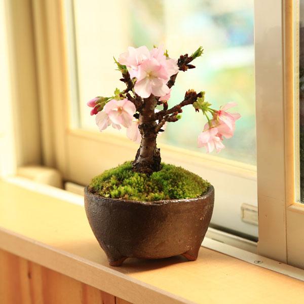 鉢色選べる一才桜(信楽焼足付浅鉢)