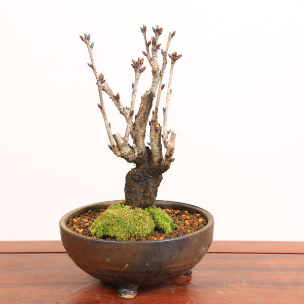 盆栽:特選天の川桜(信楽焼金彩足付丸鉢)