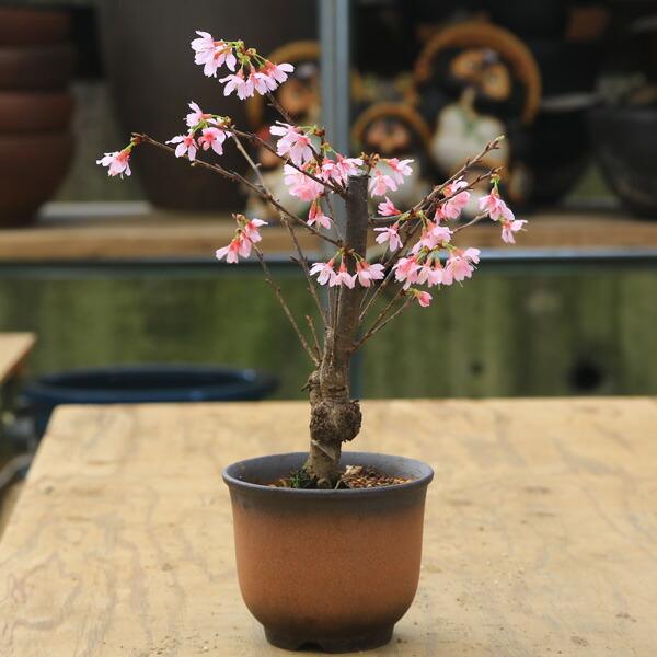 桜盆栽:おかめ桜