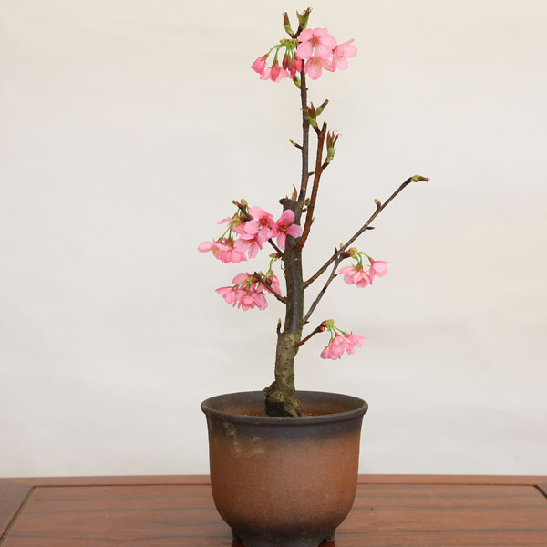 桜盆栽:熱海桜(あたみざくら)