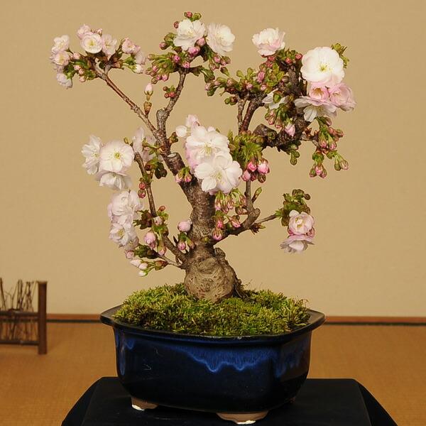 桜盆栽:八重桜(大)