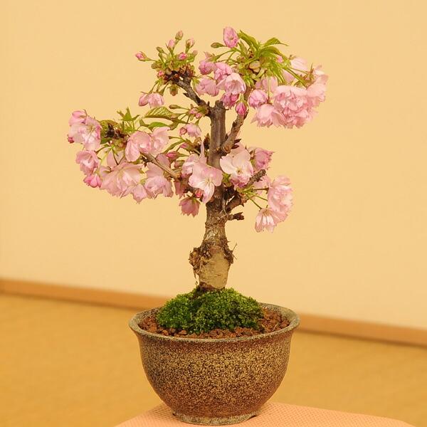 桜盆栽素材:一才桜
