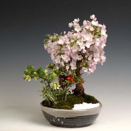 桜盆栽:御殿場桜寄せ(信楽焼鉢)