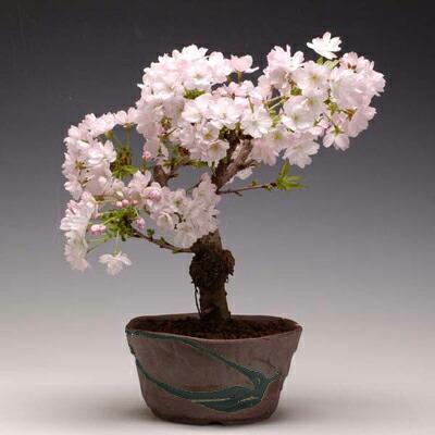 桜盆栽:八重桜(瀬戸焼鉢)