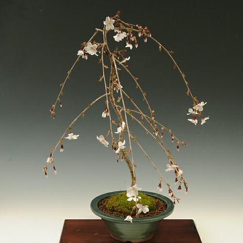 盆栽:しだれ富士桜(緑丸鉢)