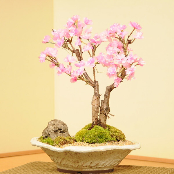 八重桜2本仕立て景色盆栽