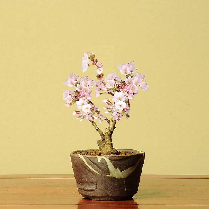 ミニ盆栽:御殿場桜(瀬戸焼小鉢)