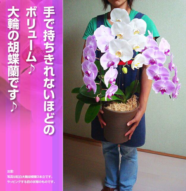 【大きい】大きな、手で持ちきれないほどの【ボリューム】【大輪】の胡蝶蘭です。