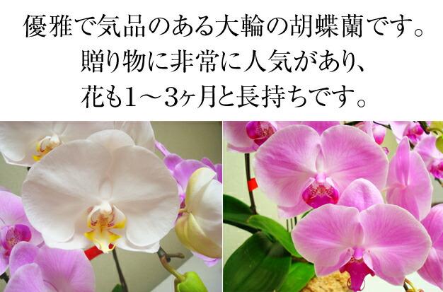 優雅で気品のある大輪の胡蝶蘭です。贈り物に非常に人気があり、花も1~3ヵ月と長持ちです
