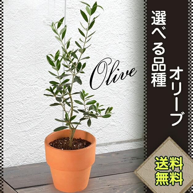 記念樹、幸せを呼ぶ木 オリーブ、丈夫で育てやすい オリーブ