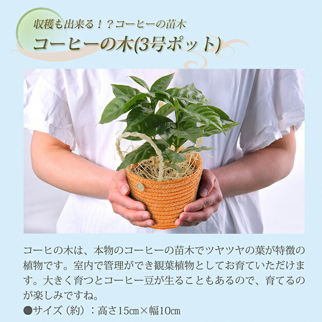 コーヒーの木と小川珈琲