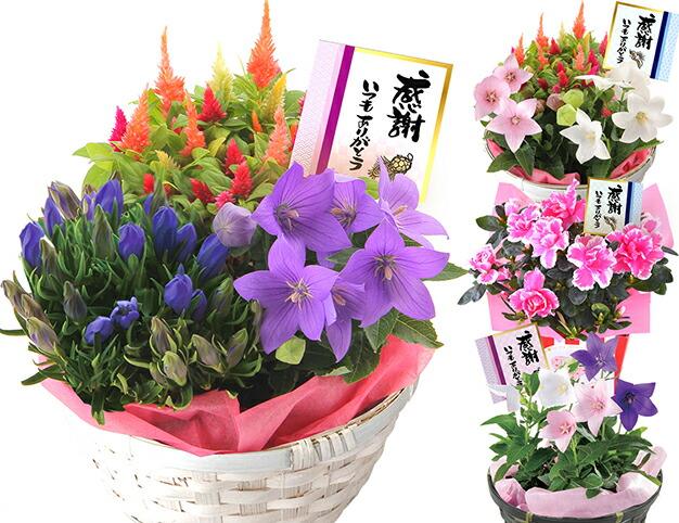 選べる秋の花鉢