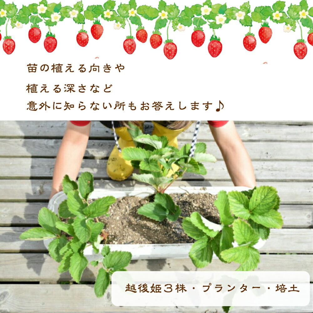子供が笑顔になれる苺 幸せ苺 幸福な家庭 苺 越後姫