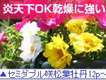 セミダブル咲き松葉ボタン