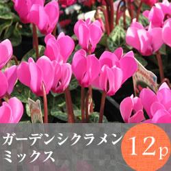 ガーデンシクラメン12pMIX