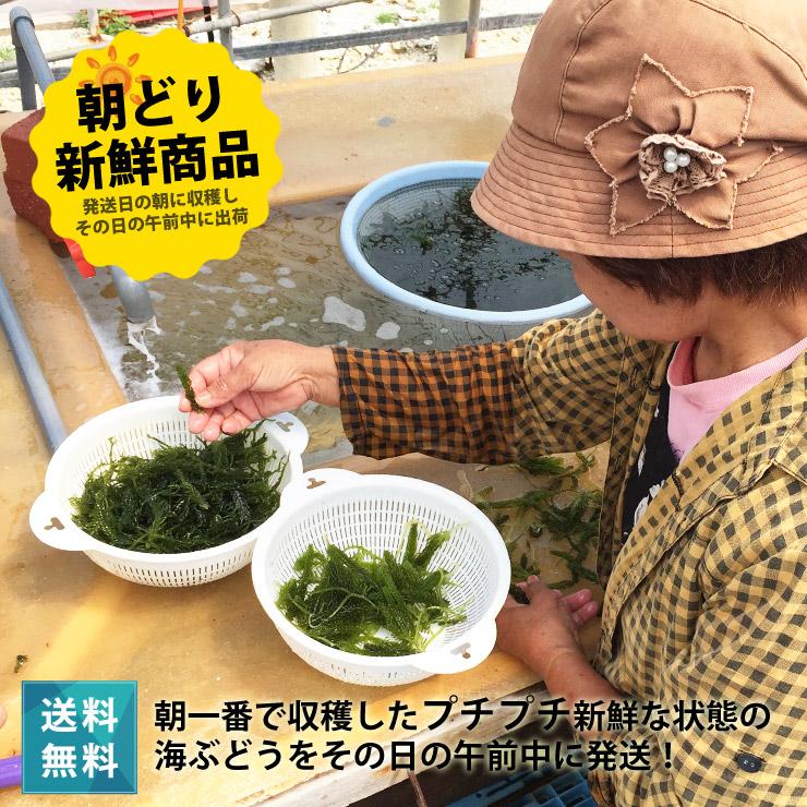 宮古島の朝どり海ぶどう 送料無料