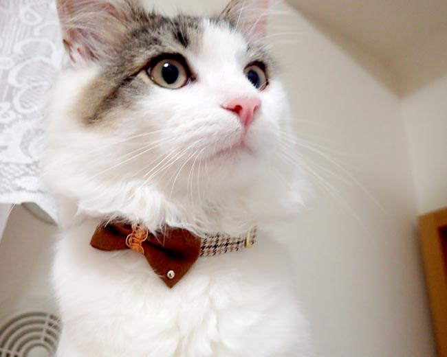 おしゃれリボン猫首輪 一歩先行くリボンコーデシリーズ ベルベットリボン