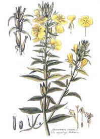 γ-亚麻酸(月见草油)