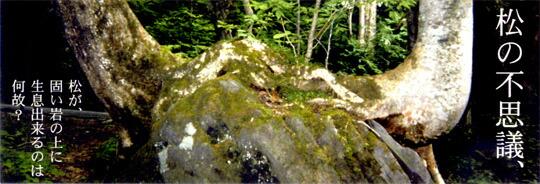 松が固い岩の上に生息できるのは岩に含まれるミネラルを養分にしているからです