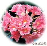 タヒボの花