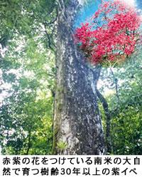 紫风铃木(Taheebo)