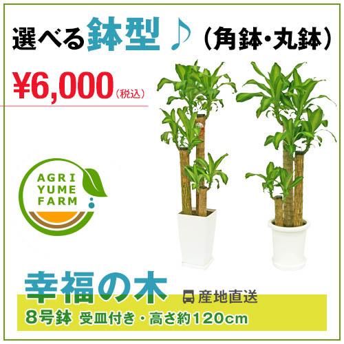 幸福の木(ドラセナ)8号プラ鉢