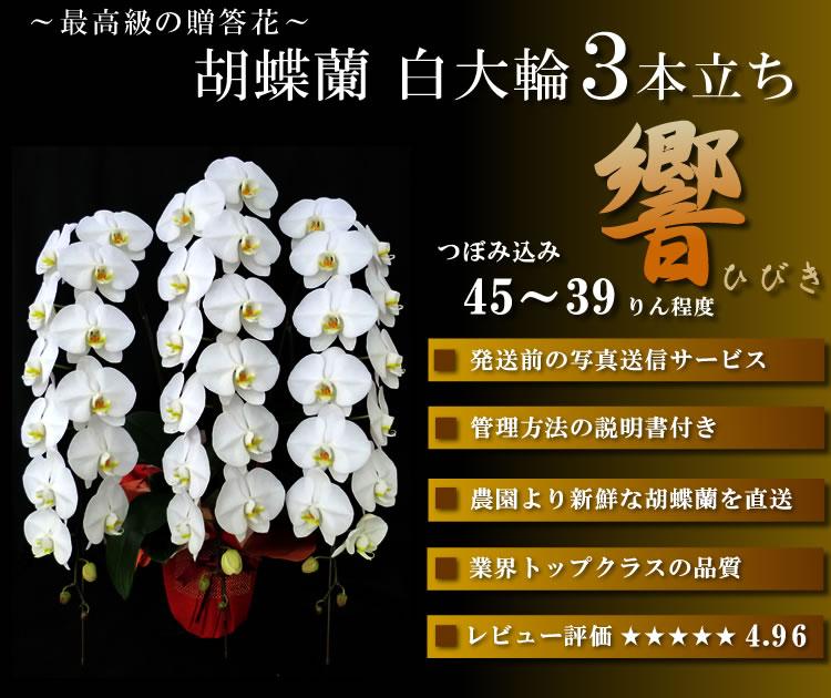胡蝶蘭 錦 最高級の贈り物