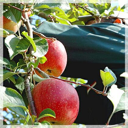 見た目より味にこだわり!青森の葉とらずりんご