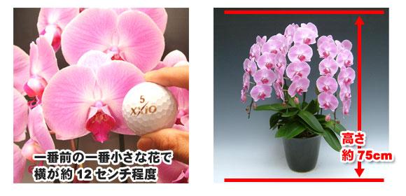 胡蝶蘭の大きさの目安