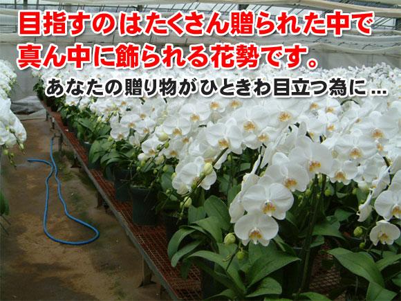 目指すのはたくさん贈られた胡蝶蘭の中で真ん中に飾られる花勢です。あなたの贈り物がひときわ目立つために!