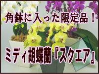ミディ胡蝶蘭の限定商品