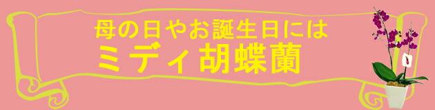 誕生日などの御祝にミディ胡蝶蘭