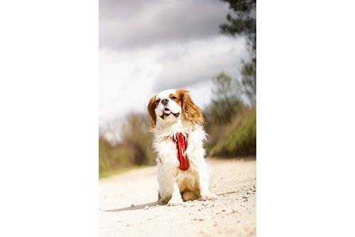 オーストラリア EZYDOG社 犬用(ドッグ) シートベルト固定具付ハーネス 「ハーネス XSサイズ」