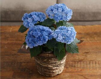 紫陽花ユーミーブルー