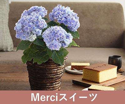 Merciスイーツ 紫陽花/プリンセスシャーロット