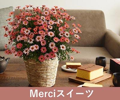 Merciスイーツ 咲き誇る色彩マーガレット