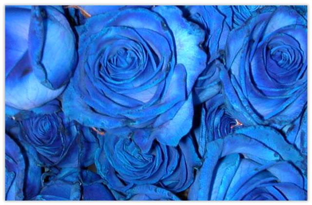 青色のバラブルーローズ