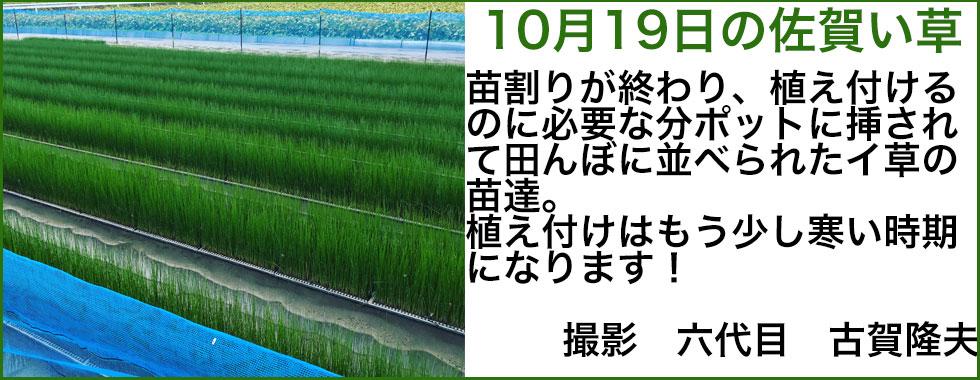10月のい草