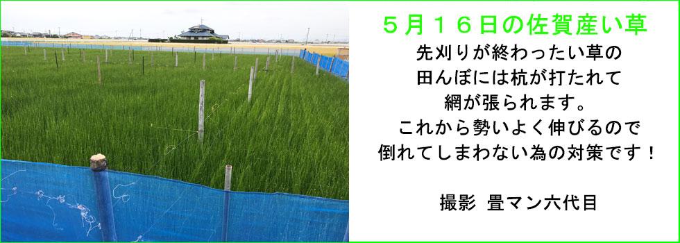 5月のい草