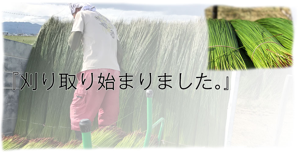 7月のい草