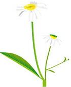 ケアピローサエッセンス CAREPILOSA ビデンス・ピローサ 宮古島 沖縄 癌の治療・癌と生きる・自然治癒力を増進【漢方・美容・健康のことなら葵堂薬局】