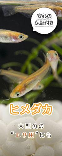 メダカ10匹