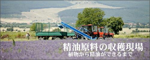 アロマオイル原料の収穫