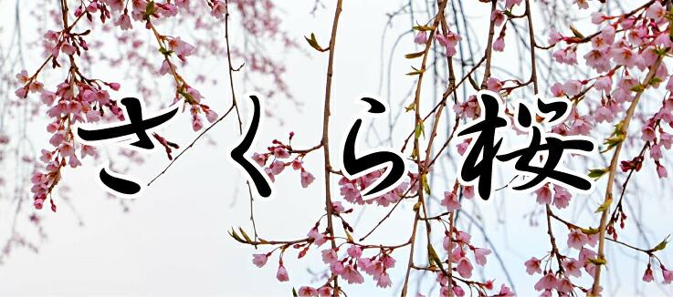 新作 桜 写真パネル