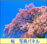 桜 写真パネル