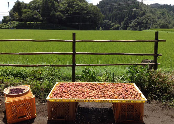 回の土用干しと夜干しを行い梅の味を引き出す。
